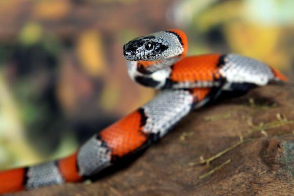 Le parc amazonien d'Amboro , Le serpent corail , Bolivie