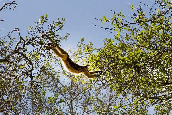 Le parc amazonien d'Amboro , Le singe hurleur , Bolivie