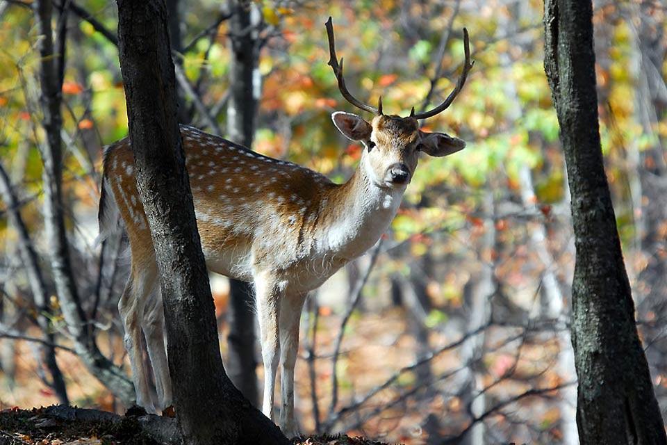 La faune et la flore des sierras , Le cerf de la Sierra , Espagne