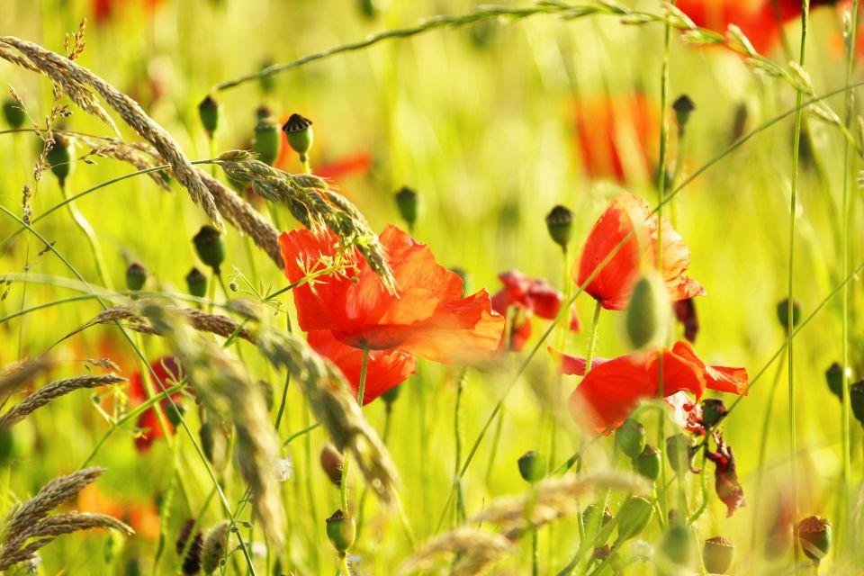 Parque Natural Regional de Luberon , Las flores silvestres de Provenza , Francia