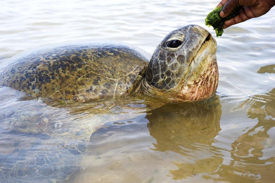 Turtles , Turtle , Sri Lanka