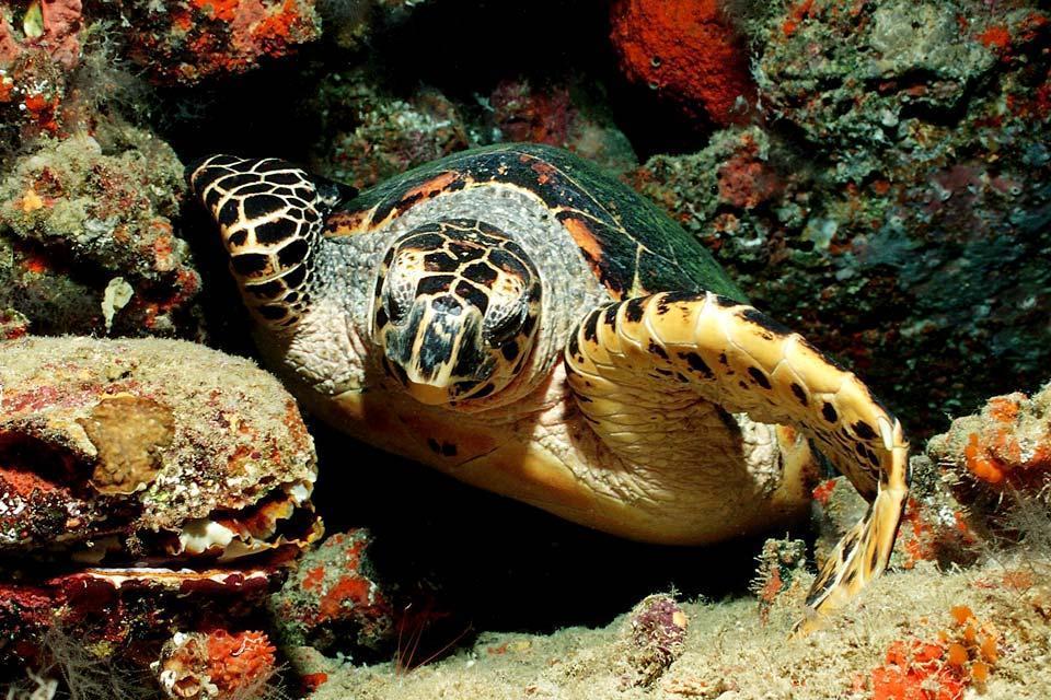 Turtles , Turtle amongst coral , Sri Lanka