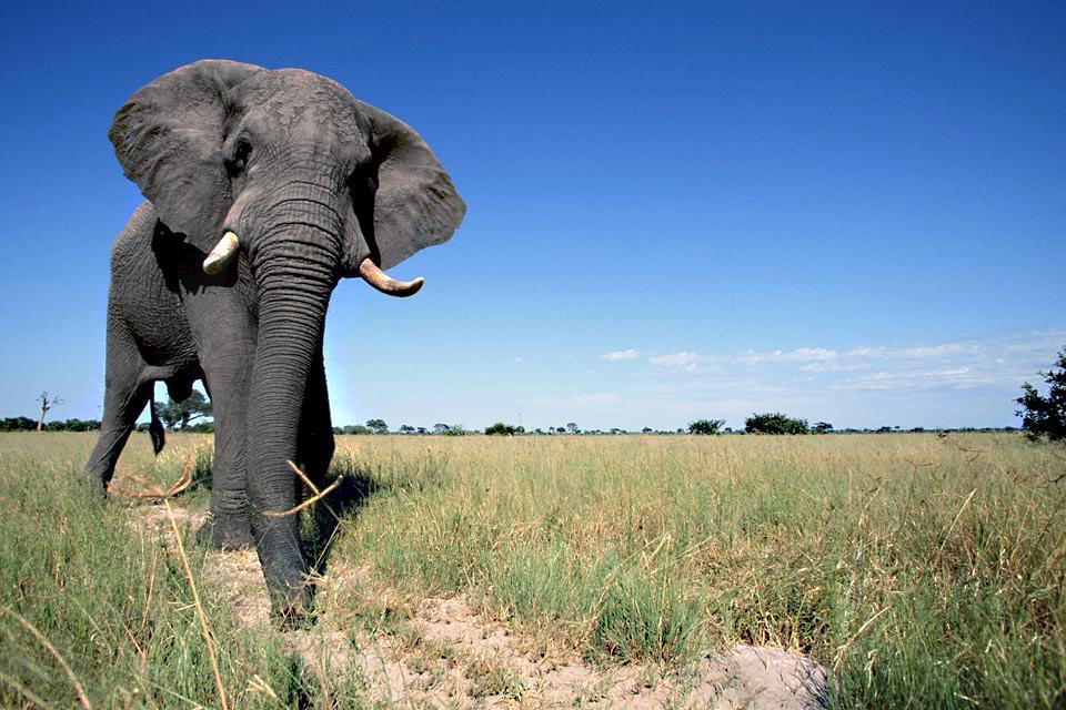 Le Chobe National Park , La concentration d'éléphants , Botswana