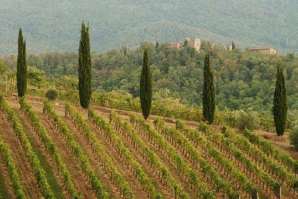 Il Chianti , Le vigne, Chianti , Italia
