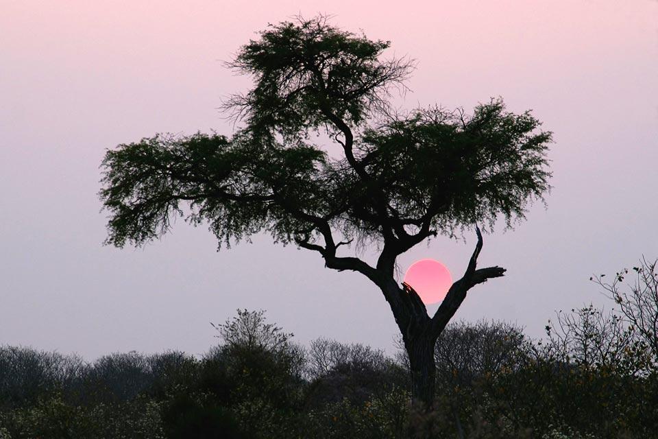 Le Central Kalahari Game Reserve , Les arbres du parc , Botswana