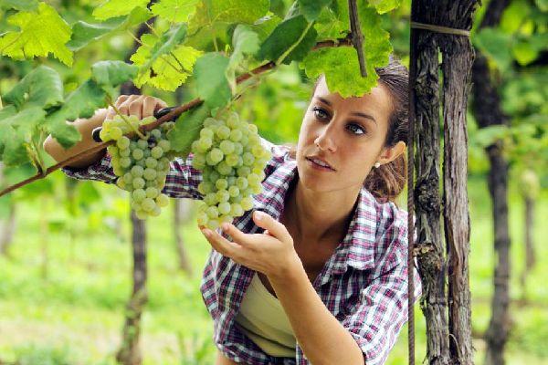 Les vignobles et le vin , Le prosecco vénitien , Italie