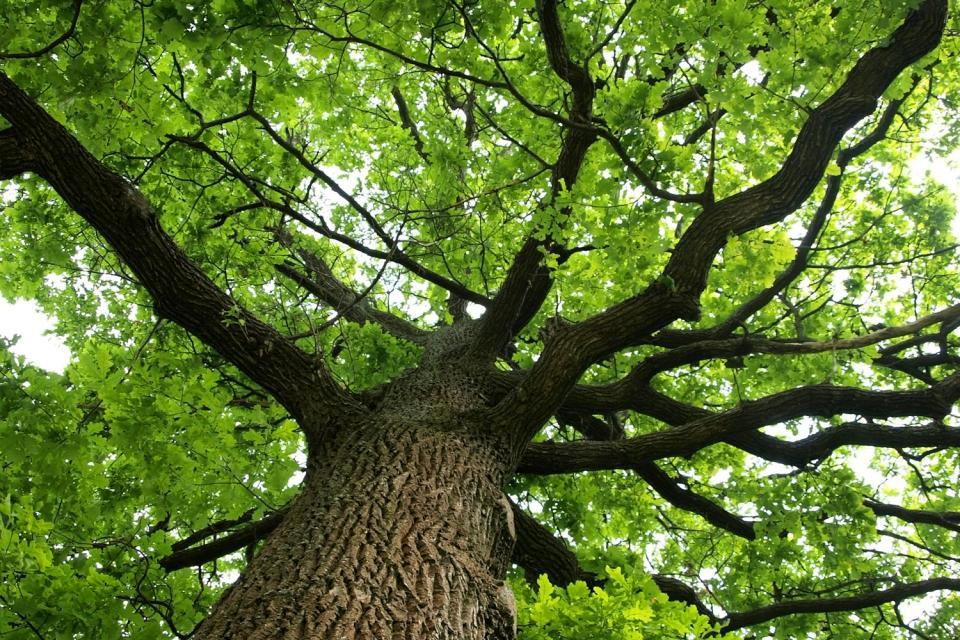 La forêt de Brocéliande , Le chêne de Guillotin , France