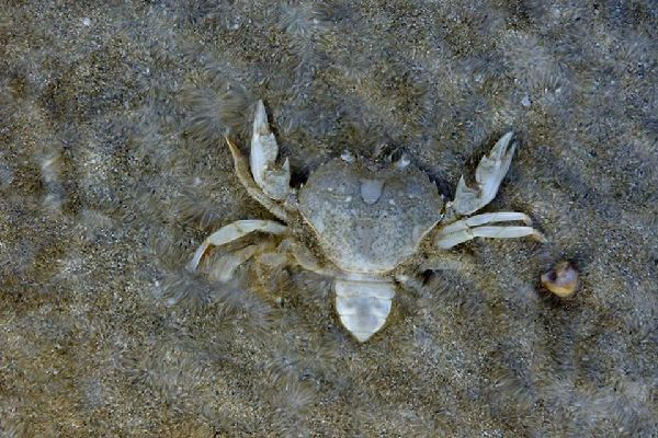 Forests , The crab; one species inhabiting the marshes , France