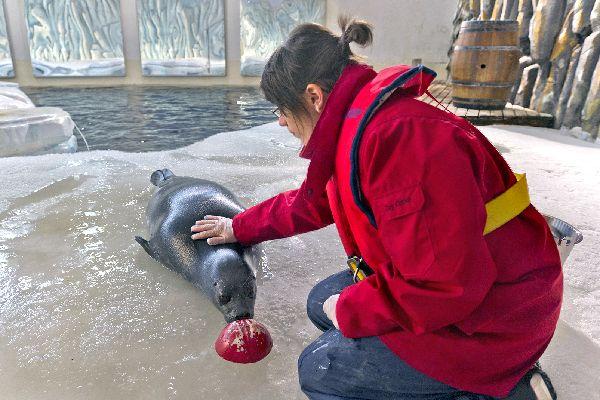 Océanopolis , Una foca en el pabellón polar , Francia