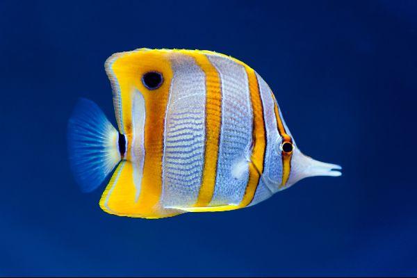 Océanopolis , Un pez sierra , Francia