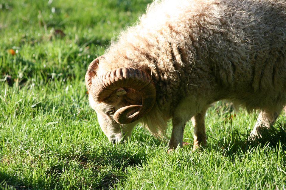 La zona de Ménez-Meur , El carnero de Ouessant , Francia