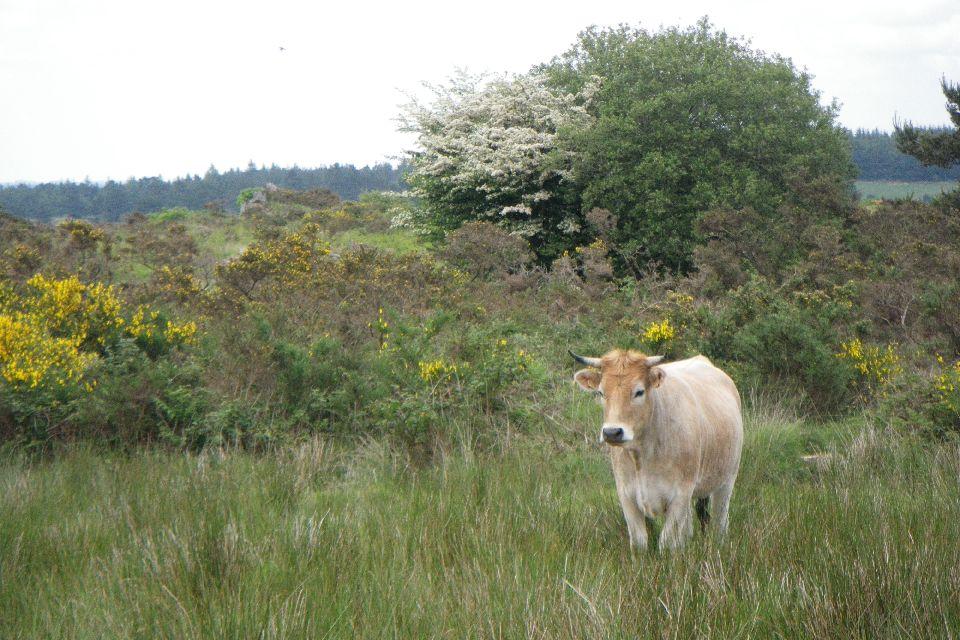 La zona de Ménez-Meur , Vaca bretona pía negra , Francia