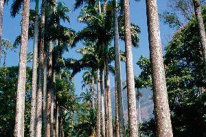 Le Jardin Botanique de Rio , L'allée des palmiers royaux , Brésil