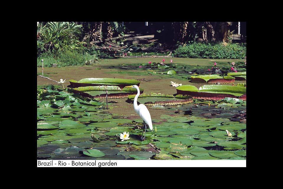 Le Jardin Botanique de Rio , La mare aux nénuphares , Brésil