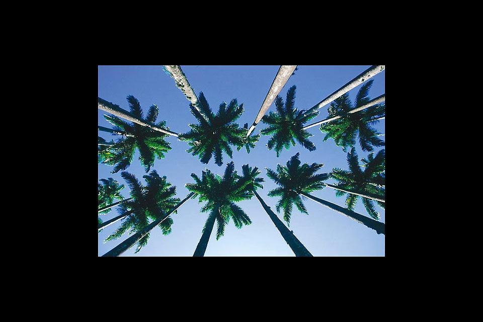 Le Jardin Botanique de Rio , L'allée des palmiers , Brésil