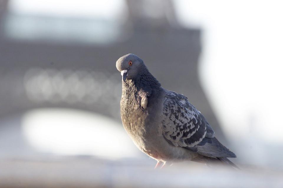 I piccioni , Il piccione parigino , Francia