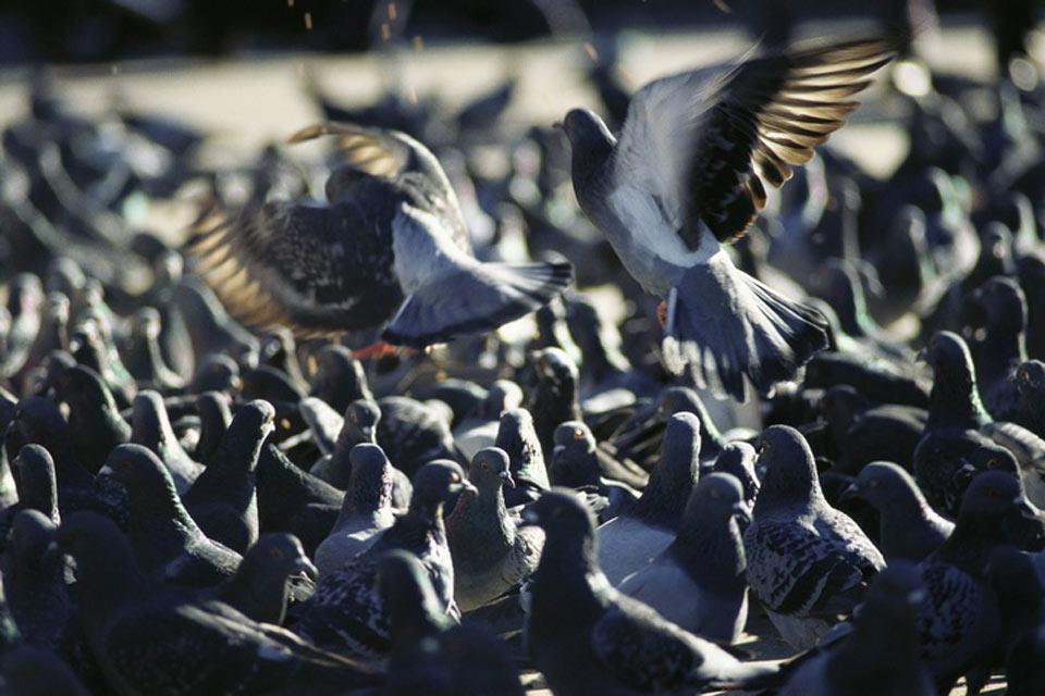 I piccioni , I piccioni sono numerosi a Parigi , Francia