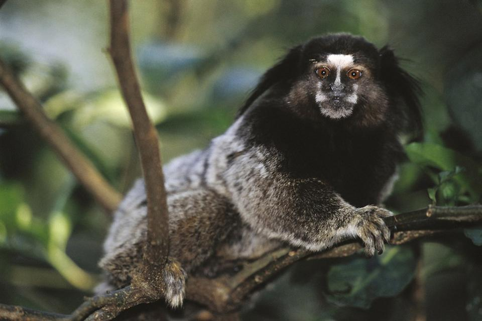 La forêt de Tijuca , Singe capucin , Brésil