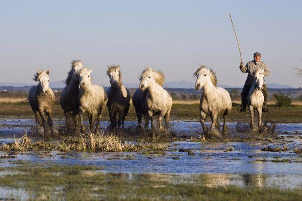 Los caballos de La Camarga, La Camarga, Las costas, Provence-Alpes-Côte d'Azur