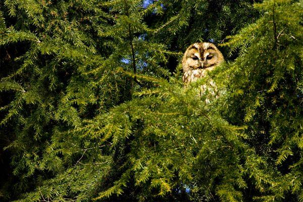 Chouette dans un pin, Parc naturel del Montgó, La faune et la flore, Communauté de Valence