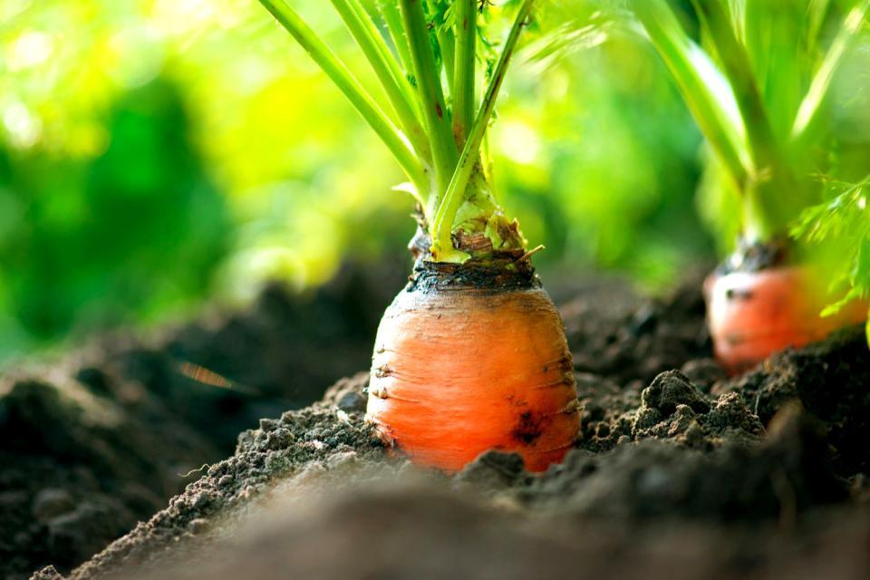 Las verduras , La zanahoria , Francia