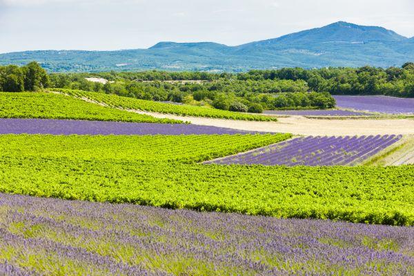 Los viñedos provenzales, Los aceites, los pescados, los vinos, Gastronomía, Provence-Alpes-Côte d'Azur