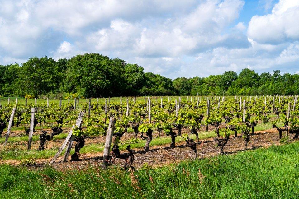Pays-de-la-Loire , Les vignes , France