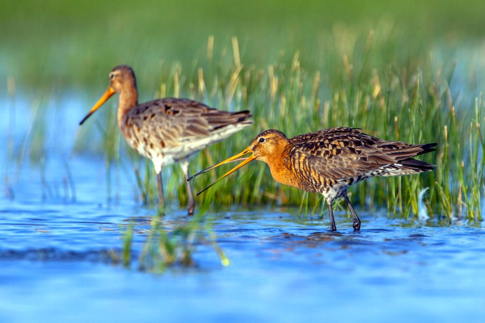 La faune et la flore, france, europe, vend?e, marais, barge, oiseau, faune, animal, nature
