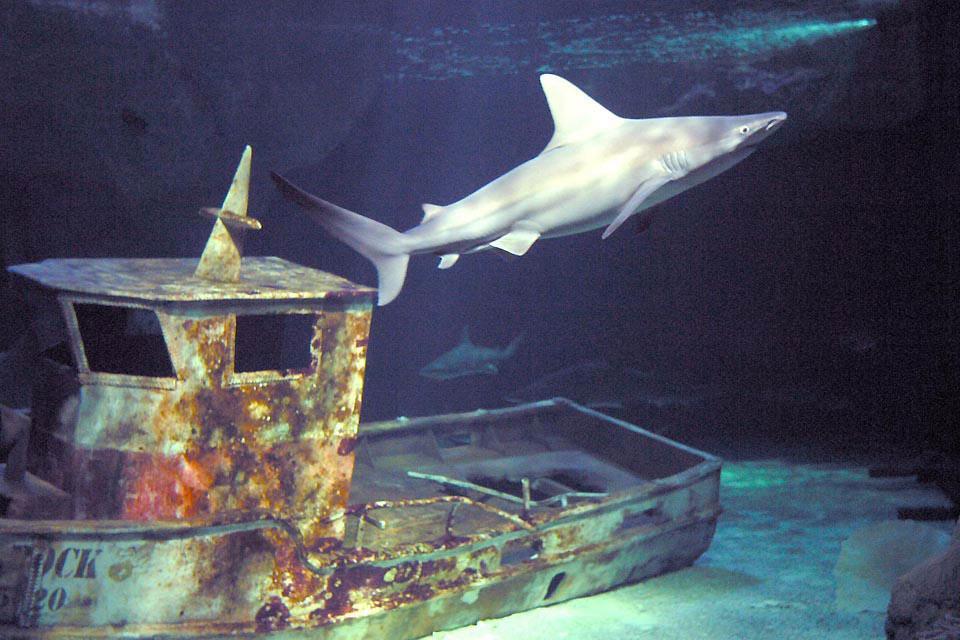 Océarium du Croisic , Les requins d'Australie , France
