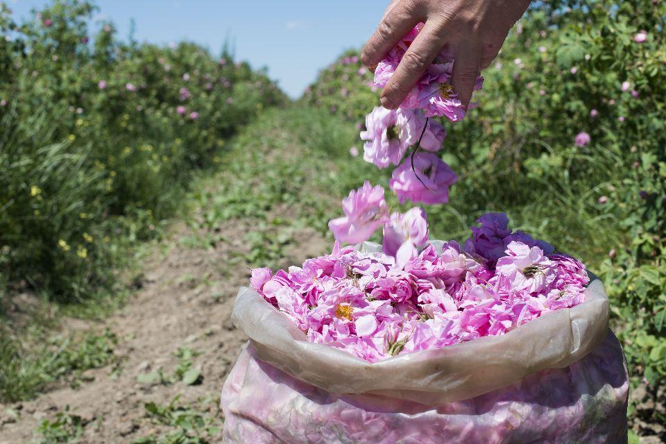 Das Tal der Rosen , Blühende Farbpracht , Bulgarien