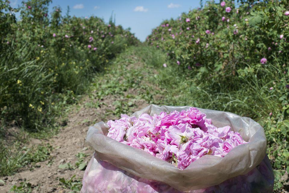 Das Tal der Rosen , Rosen sind überall , Bulgarien