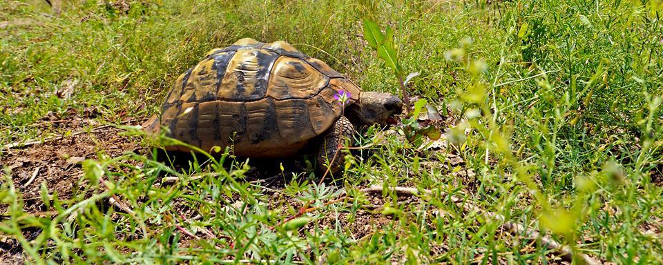 Il villaggio delle tartarughe di moltifao corsica francia for Prezzo tartarughe
