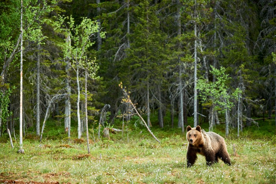 A brown Bear in Bulgaria, The fauna, The fauna and flora, Bulgaria