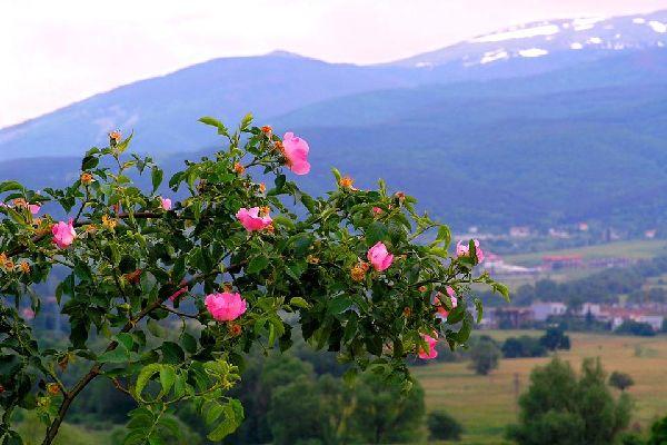 Die Flora , Rosenfeld in Bulgaien , Bulgarien