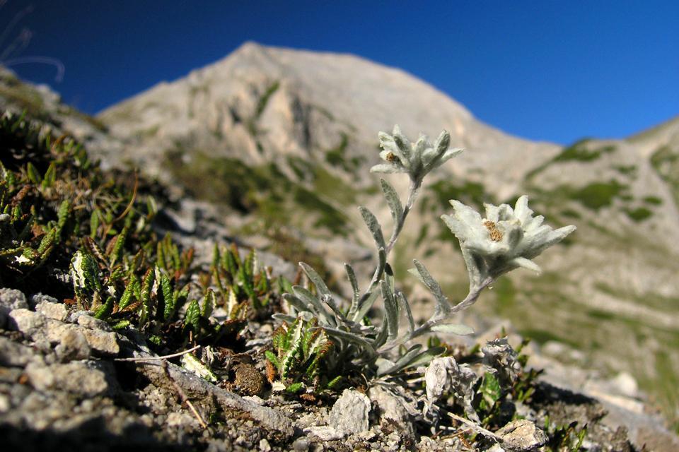 Die Flora , Pflanze in den Bergen , Bulgarien