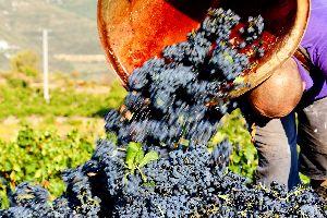 Les vins , Languedoc , plus grand vignoble du monde , France