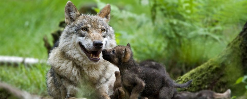 Le parc des loups du G�vaudan