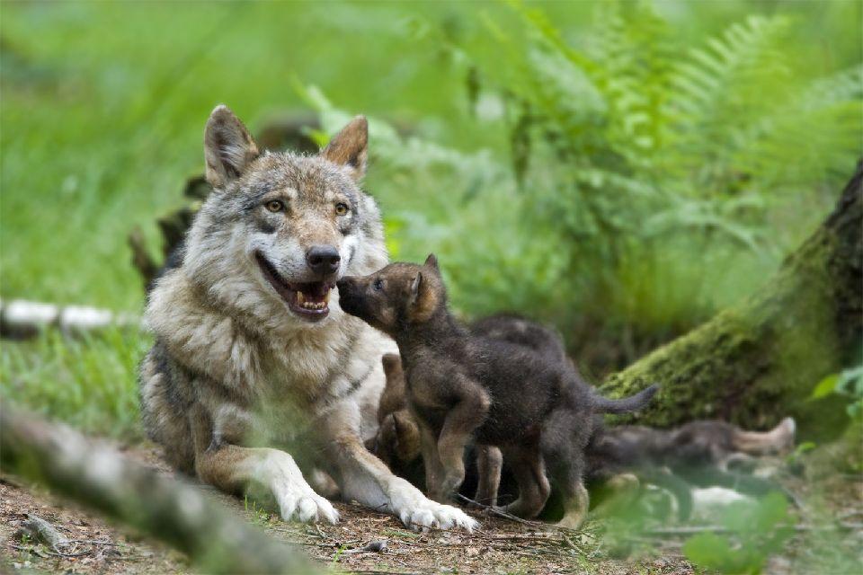 Los lobos de Gevaudan , El parque de lobos de Gévaudan , Francia