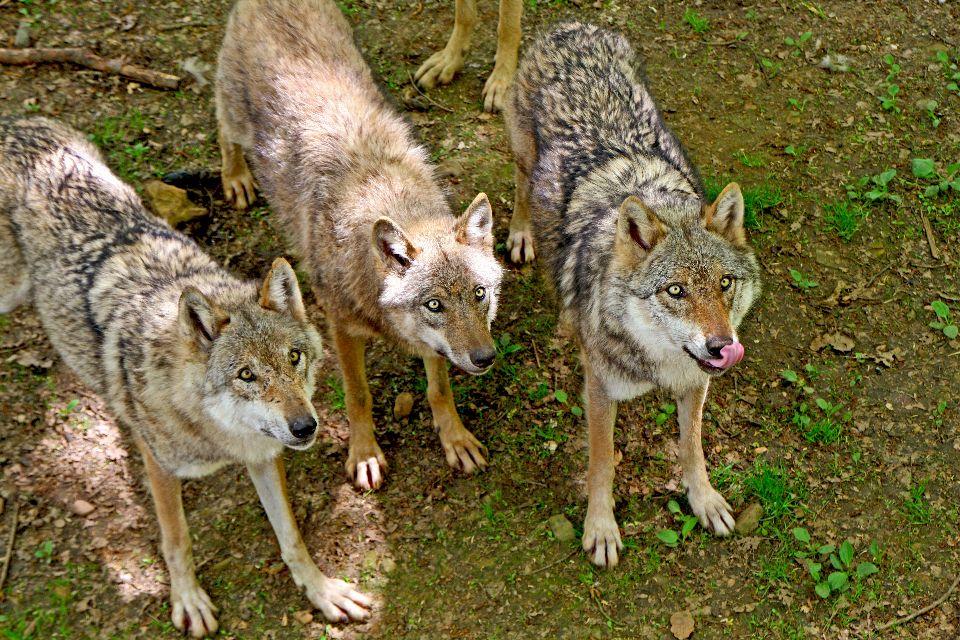 Les loups du g vaudan languedoc roussillon france - Differentes especes de pins ...