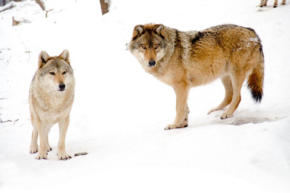 Les loups du Gévaudan , Le loup de Mongolie , France