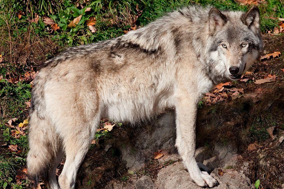 Los lobos de Gevaudan , Horarios del parque de Gévaudan , Francia
