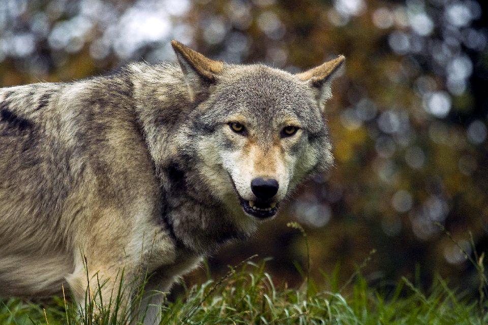 Los lobos de Gevaudan , Velocidad punta del lobo , Francia