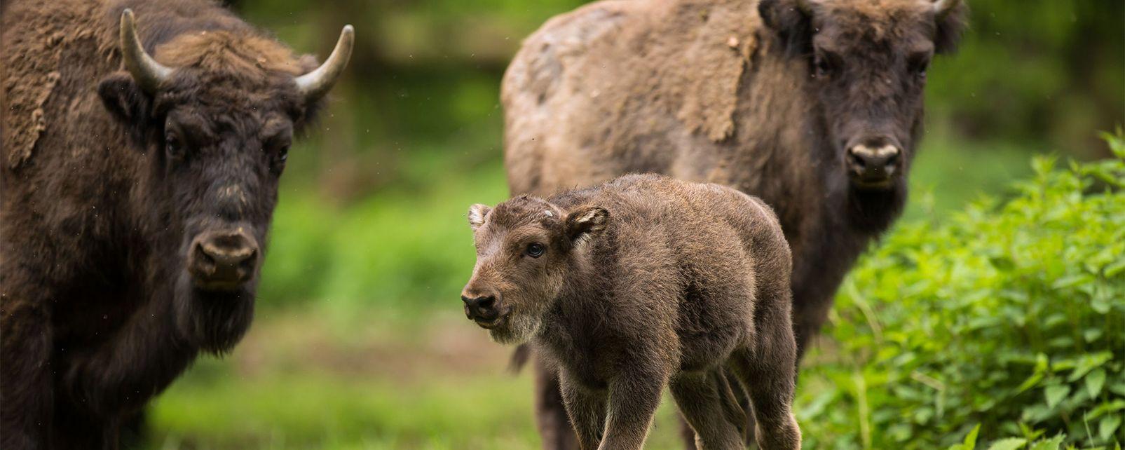 Los bisontes de Sainte Eulalie , Francia