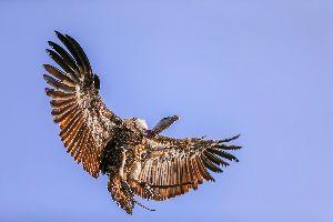 Le belvédère des vautours , France
