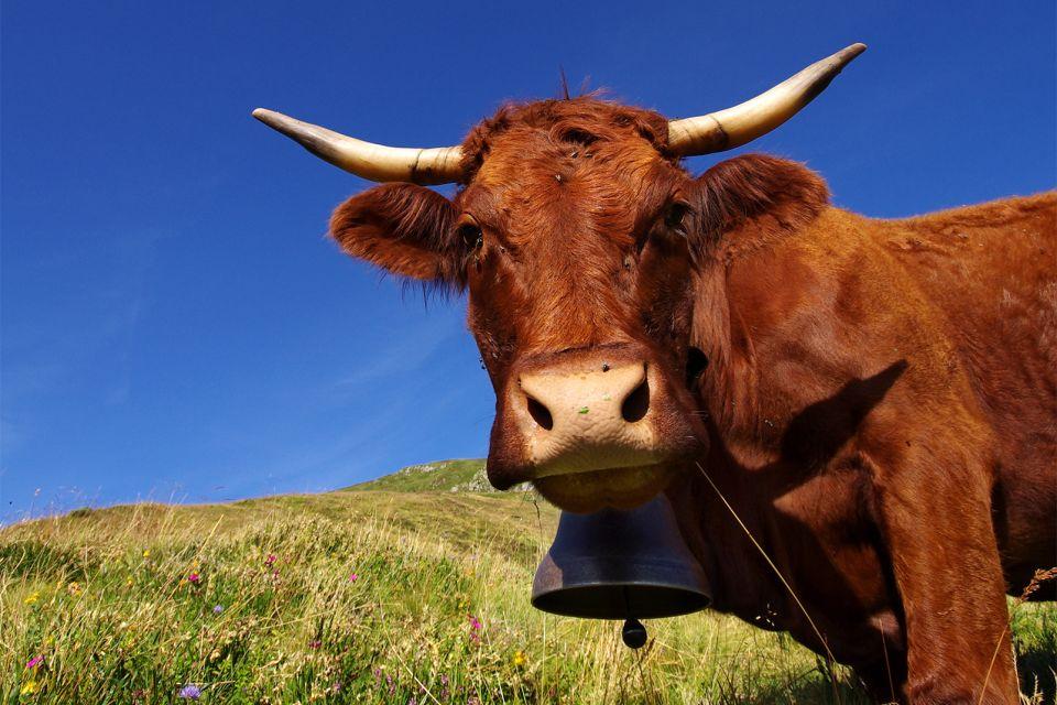 France, Auvergne, Cantal, vache, salers, agriculture, Auvergne-Rhône-Alpes