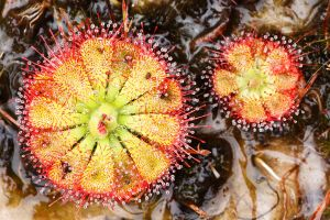 plante carnivore auvergne