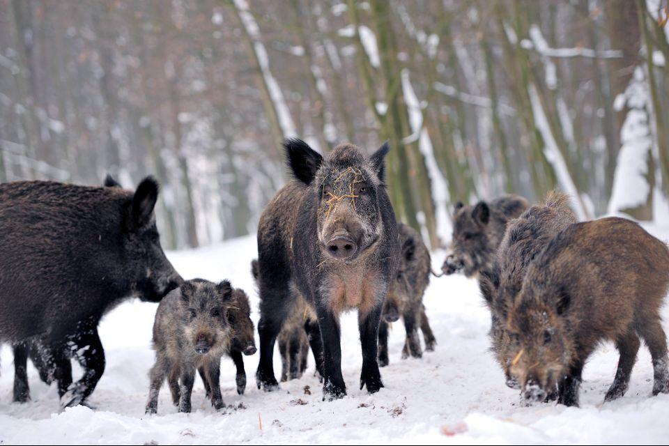 Auvergne, Puy-de-dome, massif, central, France, faune, animal, marcassin, sanglier, foret, hiver.