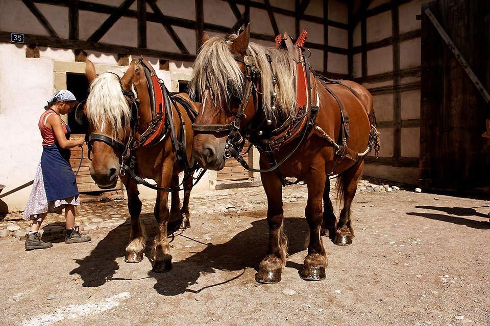 L'écomusée d'Alsace , Présentation du cheval de trait , France