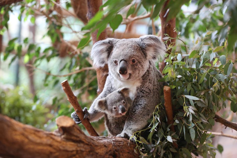 Zoo parc de Beauval , Les koalas, rarissimes ! , France