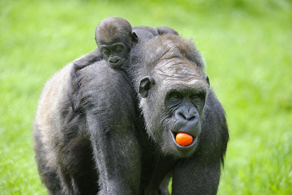 Zoo parc de Beauval , Beauval, au secours des gorilles , France